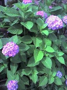 これは赤寄りの紫陽花(byきなこ)