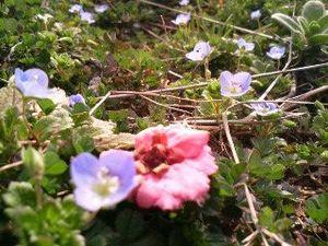 オオイヌノフグリに寄り添う梅の花 (byシュウ)