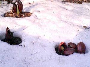 座禅草、雪の穴からこんにちは (byシュウ)