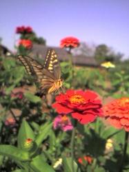 秋のアゲハ蝶(byきなこ)