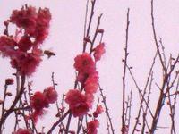 初梅と初ミツバチ (byシュウ)